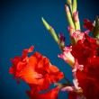 Flowering gladioli — Stock Photo