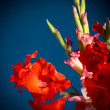 Flowering gladioli — Stock Photo #29880827