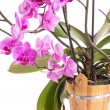 Phalaenopsis — Stock Photo #30269693