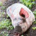 Постер, плакат: Pig on a farm