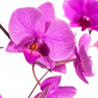Phalaenopsis — Stock Photo #30541685