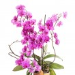 Phalaenopsis — Stock Photo #30676949