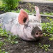 Big pig on the farm — Stock Photo