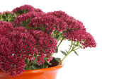 Flower sedum — Stock Photo
