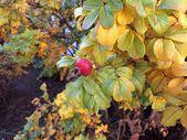 Шиповник, фрукт, спелый, куст, осень, сезон, листва, полезный, ягода, красный, чай, полезный — Stock Photo