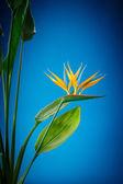 Strelitzia květ — Stock fotografie