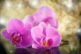 Belle branche de phalaenopsis — Photo