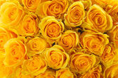 Yellow roses — Stockfoto