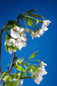 Blooming pear — Stock Photo