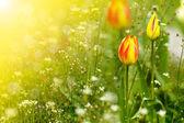 Güzel bahar lale güneş — Stok fotoğraf