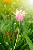 Όμορφη άνοιξη τουλίπα στον ήλιο — Φωτογραφία Αρχείου