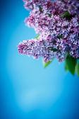 Beautiful spring lilac — Foto Stock