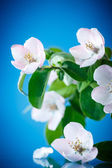 Spring flowering quince tree  — Stock Photo