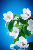 árvore de marmelo de primavera — Fotografia Stock