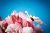 Ladybug on pink beautiful flowers — Stock Photo