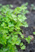Parsley growing in the garden — Stock Photo