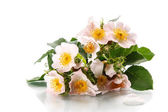 Bouquet of wild roses — Stock Photo