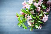 Weigel beautiful pink flowers — Stock Photo