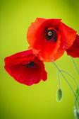 Wild poppy flower — Stock Photo