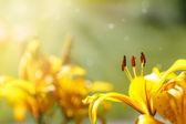 Beautiful yellow lily  — Stock Photo