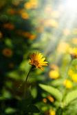 Yellow daisy in the sun — Stock Photo