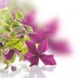 Clematis — Stock Photo #49081183