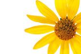 Yellow daisy flower — Stock Photo