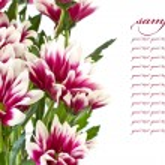 Red chrysanthemums — Stock Photo #6756626