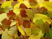 Couleurs chaudes de l'automne. feuilles d'érable qui couvre le sol. — Photo