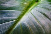 Callas big green leaf background — Stock Photo