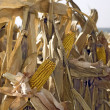 Corn field — Stock Photo #13499863