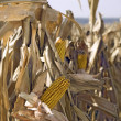 Corn field — Stock Photo #13499885