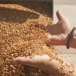 Hand with wheat grains — Stock Photo