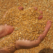 Stock Photo: Wheat grains in hands