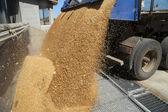 Dumping of wheat grains — Stock Photo