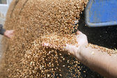 Hands with wheat grains — Stock Photo