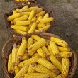 Baskets with corn cobs — Stock Photo