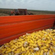 Corn cobs in tractor trailer — Stock Photo