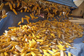 Corn cobs from tractor trailer — 图库照片