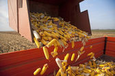 Dumping the corn cobs — Stock Photo