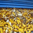 Corn cobs from tractor trailer — Stock Photo