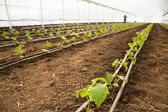 Greenhouse for vegetables - cucumbers — Stock Photo
