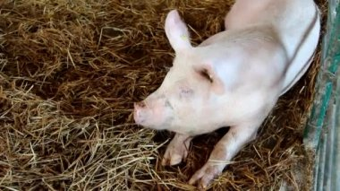 Pig on livestock exhibition — Stock Video