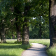 Trail between mighty trees — Stock Photo