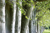 Alley of trees — Stock Photo