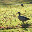 Greylag Goose — Stock Photo #40630091