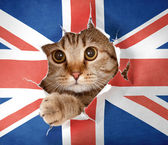 British cat looking up through hole in paper Great Britain flag — Stock Photo