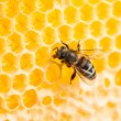 Stock Photo: Bee working in honeycomb macro shot
