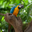 Macaw parrot — Stock Photo #14742575