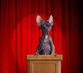 Funny hairless cat standing on a rostrum for a speech with red c — Stock Photo